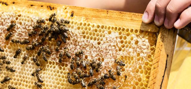 Propolis Bienen Waben