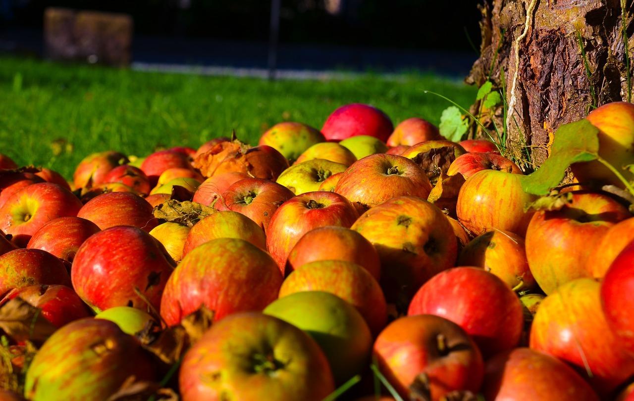 Streuobstwiesen im Herbst - Erntezeit für Äpfel
