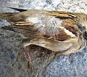 vogelsterben spatz vogel tot
