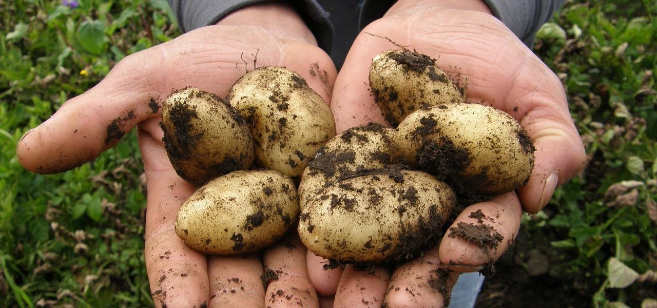 Extrem Kartoffeln lagern: so geht's richtig - Utopia.de YL98