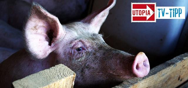 TV-Tipp: scobel - Gier auf Tier - Warum essen wir so viel Fleisch?