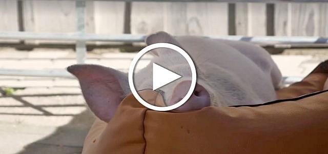 Video: Schwein Viktoria auf dem Erdlingshof