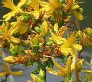 Die Heilpflanze Johanniskraut (Hypericum Perforatum)