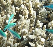 Great Barrier Reef Korallen Transplantation