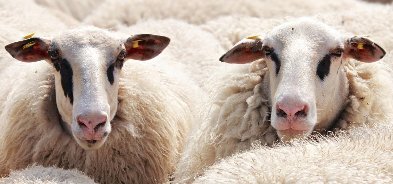 Hinter Wolle steckt mehr als nur ein Schaf.