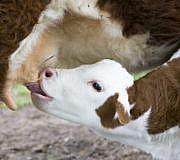 Milch Kühe Kälber Elternzeit muttergebundene Kälberzucht