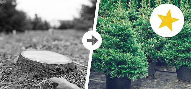 Weihnachtsbäume mieten statt kaufen