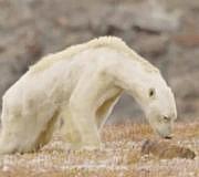 Eisbär verhungert