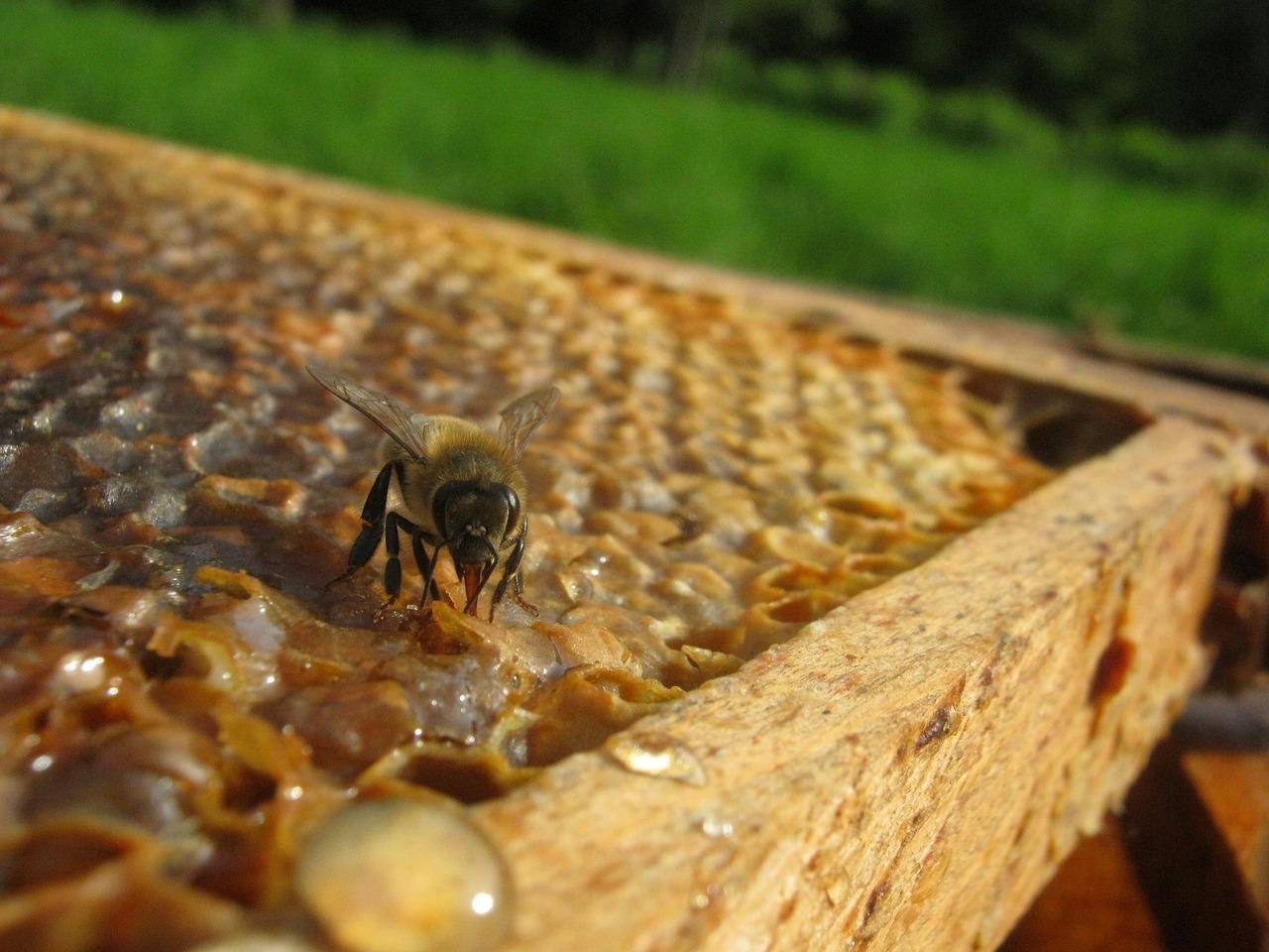 Honigbiene bei der Abgabe von Honig in die Wabe.