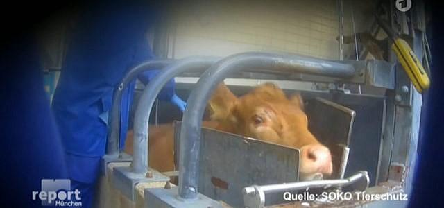 Tierrechtsverstöße in Schlachbetrieb Düren McDonalds Zulieferer