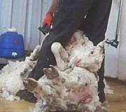Peta Wolle Schaf Australien