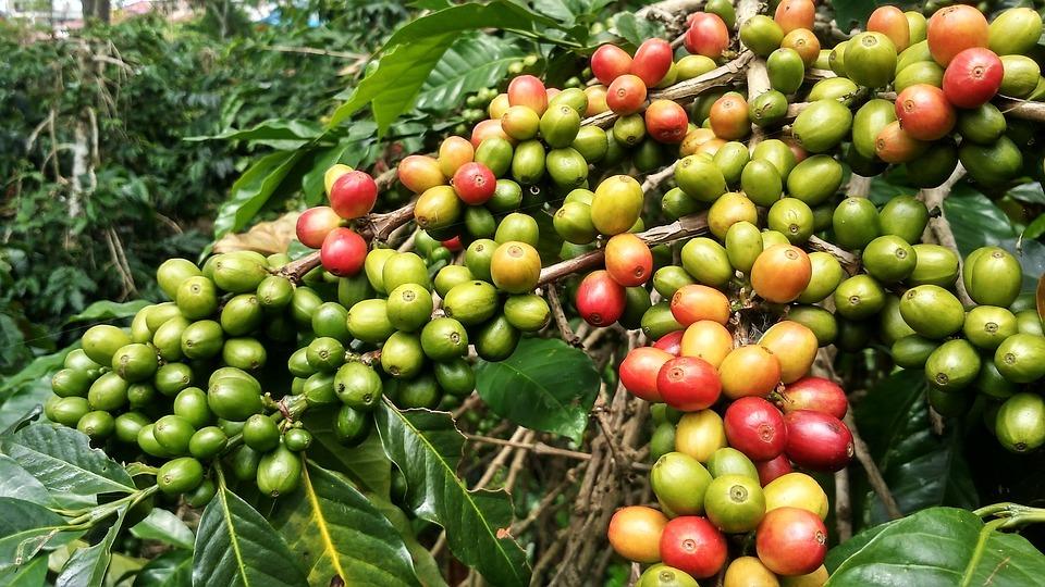 Coffea Arabica macht den größten Anteil am weltweiten Kaffeemarkt aus.
