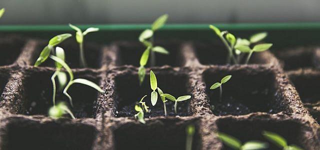 Die Anzucht von Tomatenpflanzen funktioniert auch im eigenen Zuhause.