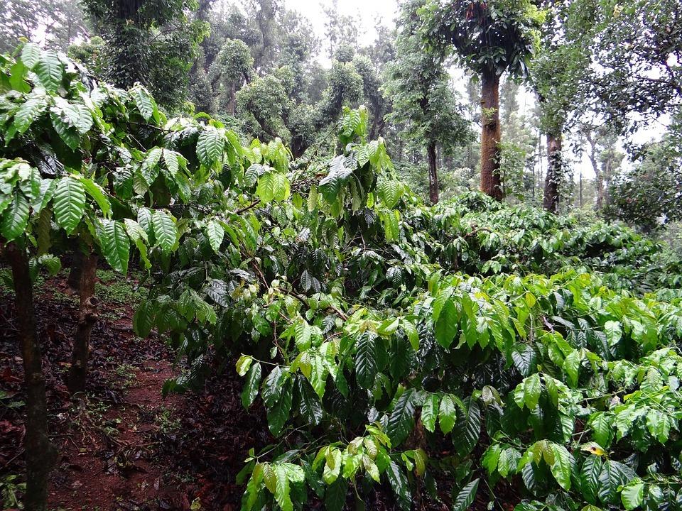 Kaffeeanbau in Mischwäldern ist verträglicher für die Umwelt als der Anbau in Monokulturen.