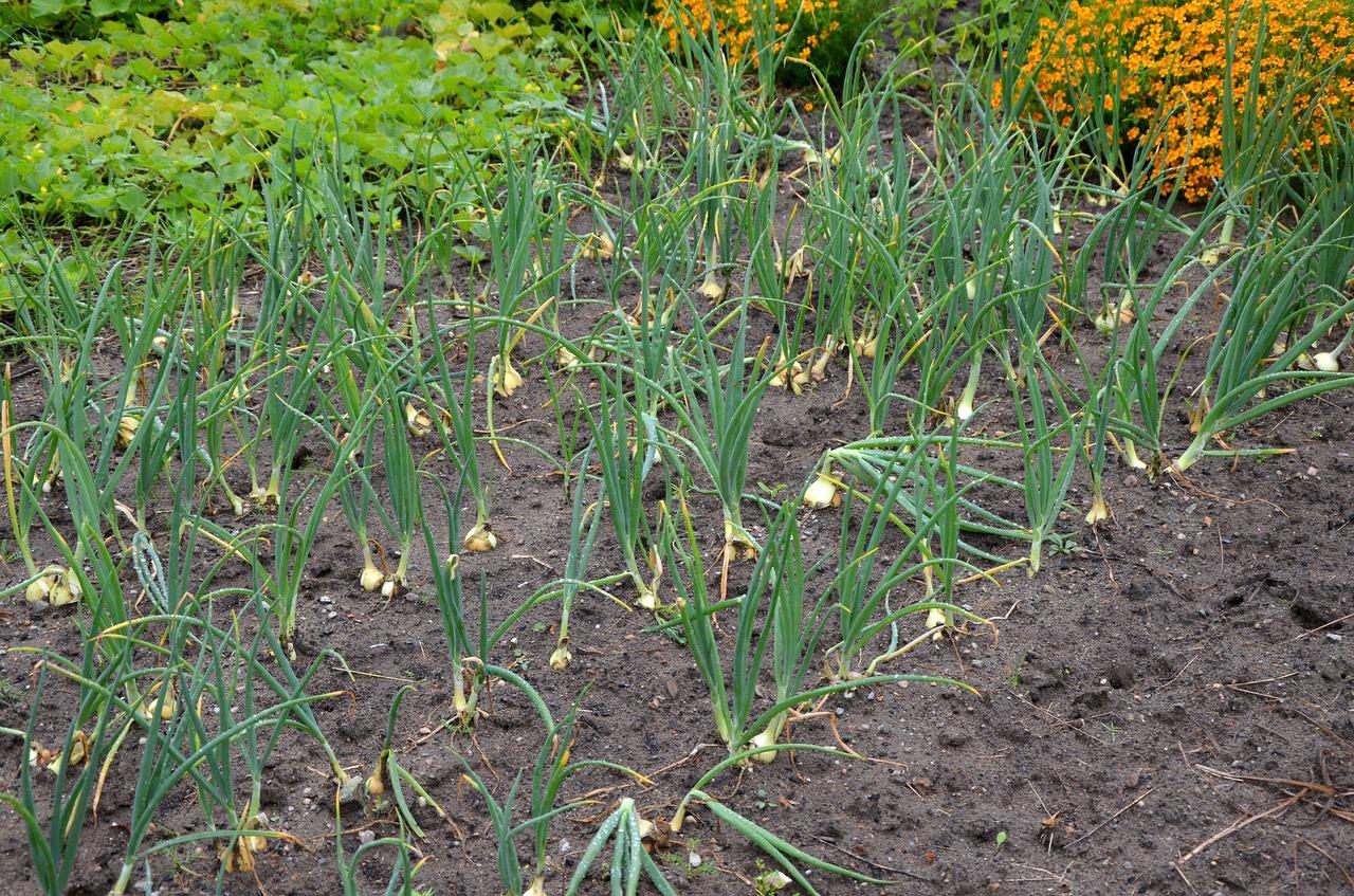 Speisezwiebeln in Reihen gepflanzt