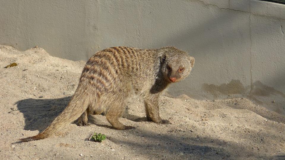 Teurer Kopi Luwak Kaffee wird zu Lasten von Schleichkatzen produziert.