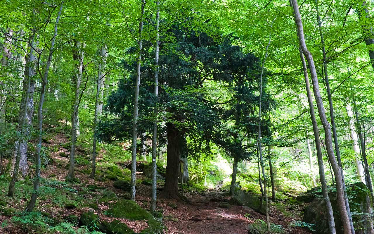 Urwald im Nationalpark Bayerischer Wald