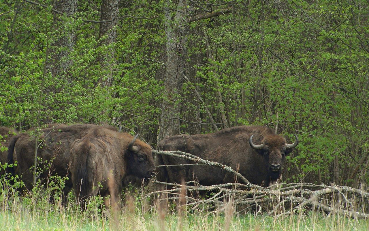 Urwald: Nationalpark Bialowieza, Polen
