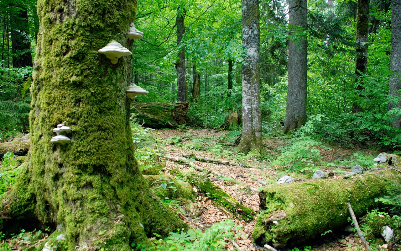 Urwald: Wildnisgebiet Dürrenstein, Österreich