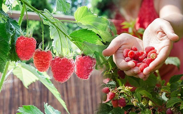 Obst Anbauen Auf Balkon Und Terrasse 10 Fruchte Die Gelingen