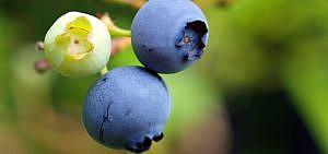 Blaubeeren Heidelbeeren pflanzen schneiden düngen