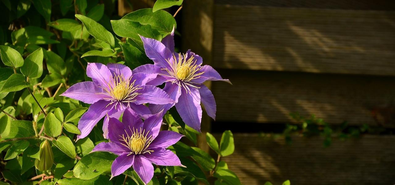 Fabelhaft Clematis pflanzen und schneiden: Tipps für die richtige Plege @CL_79