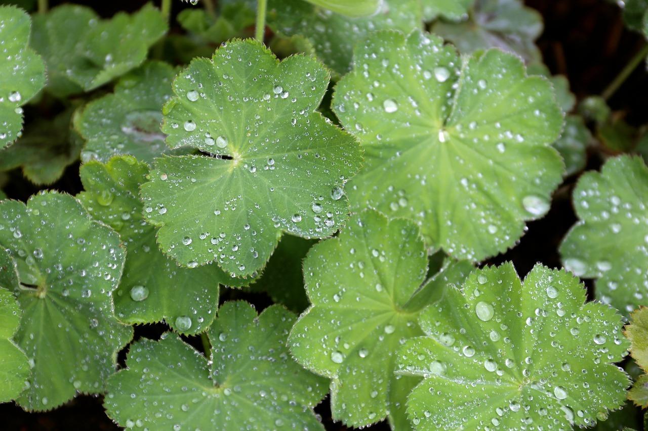 Die markanten Blätter der Frauenmantel