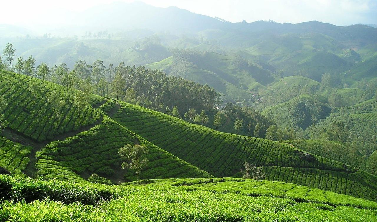 Indien ist eines der bekanntesten Anbaugebiete für Schwarztee.