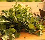 Koriander: Gewürz und Heilpflanze