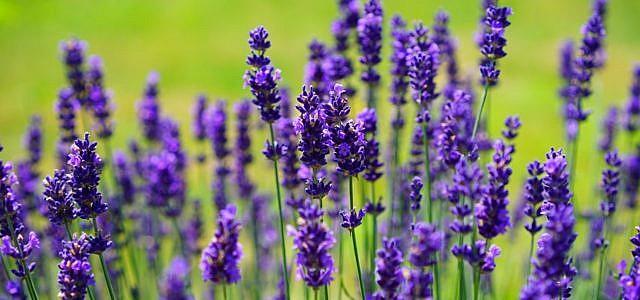 Lavendel wächst in warm-trockenen Klima.