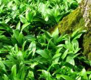 Im Frühjahr duftet der Wald nach Knoblauch.