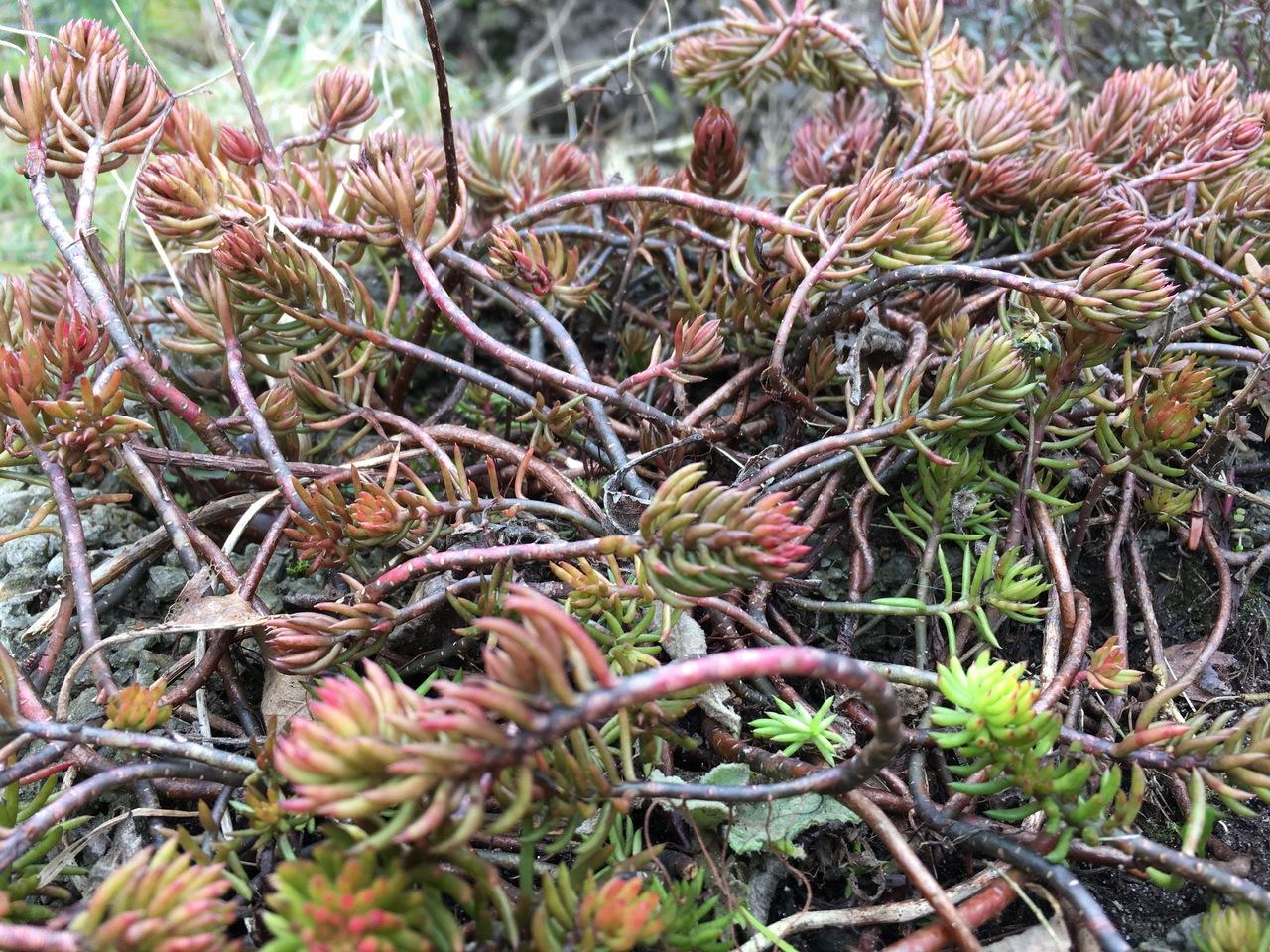 Das winterfeste Tripmadem ist nicht nur eine Zierpflanze, sondern ein leckes Gewürzkraut