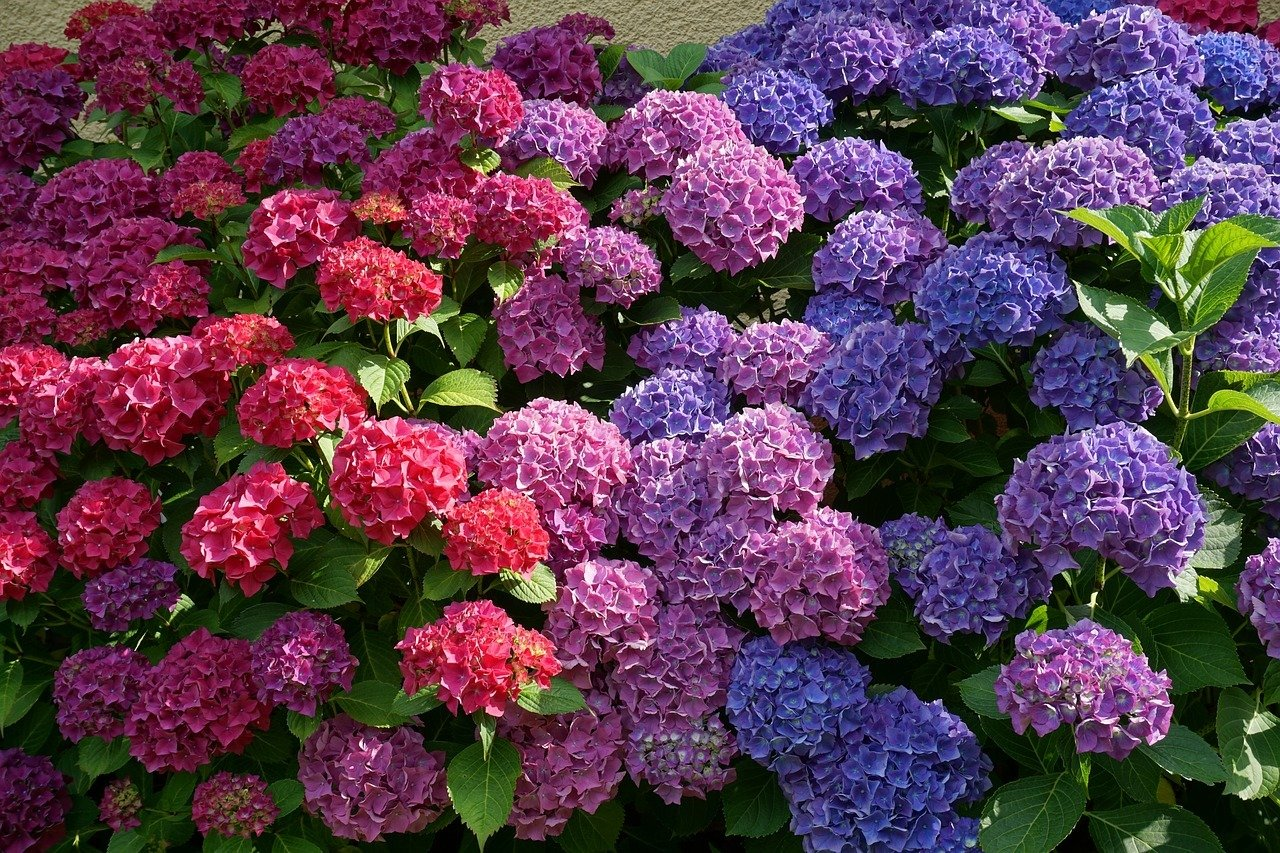 Lieblings Hortensien überwintern: Tipps für Pflanzen in Kübeln und @KN_16