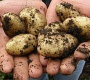 rohe kartoffeln essen