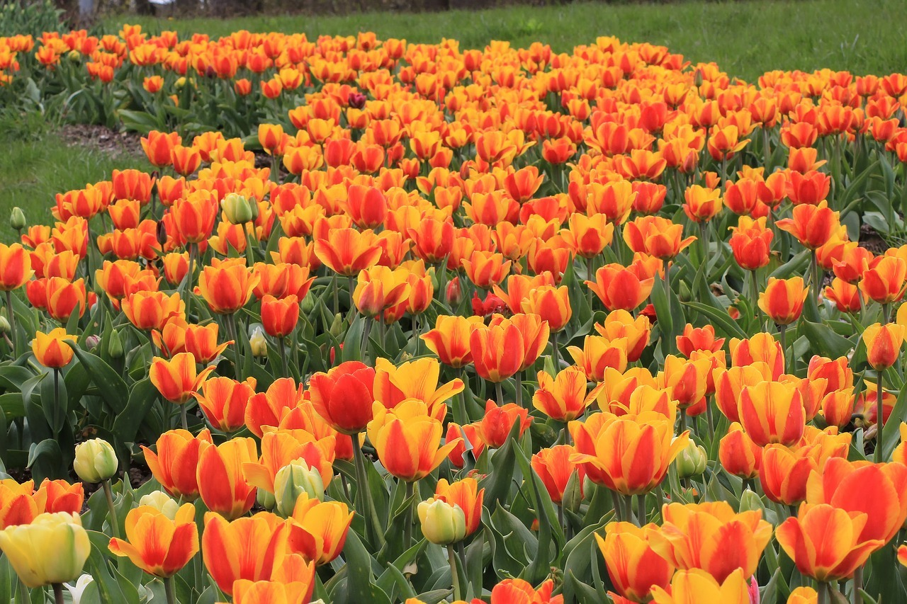 tulpen pflanzen standort und richtige pflege im garten. Black Bedroom Furniture Sets. Home Design Ideas