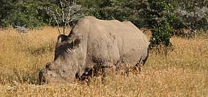 Nördliches Breitmaulnashorn Sudan