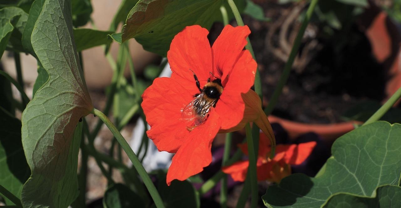 Über Kapuzinerkresse im Garten freuen sich auch Insekten wie Hummeln und Bienen.