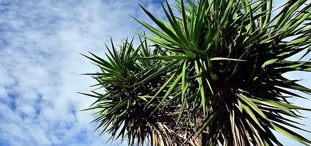 Yucca palme pflegen die besten tipps for Zimmer yucca palme bluht