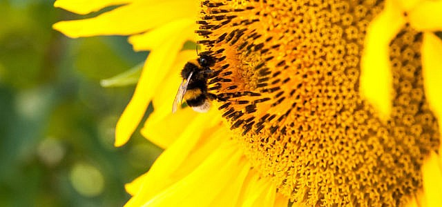 Bienenweide: Sonnenblume