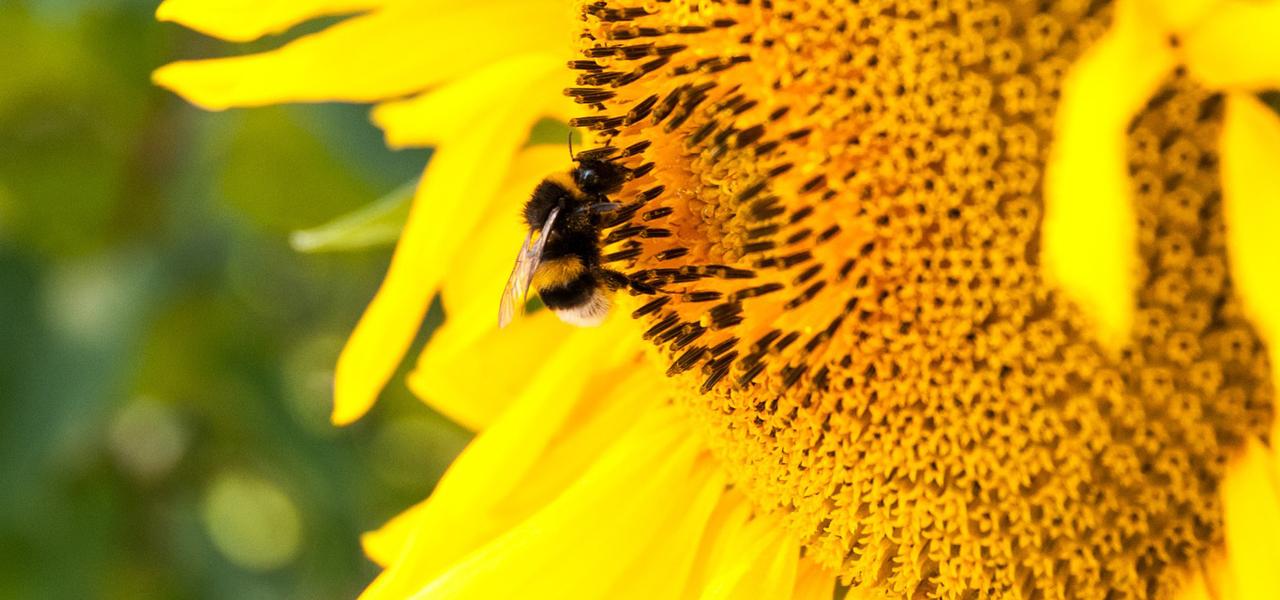 Diese Pflanzen Verwandeln Garten Und Balkon In Ein Bienenparadies