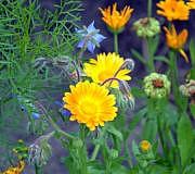 Bienenweide: Ringelblume