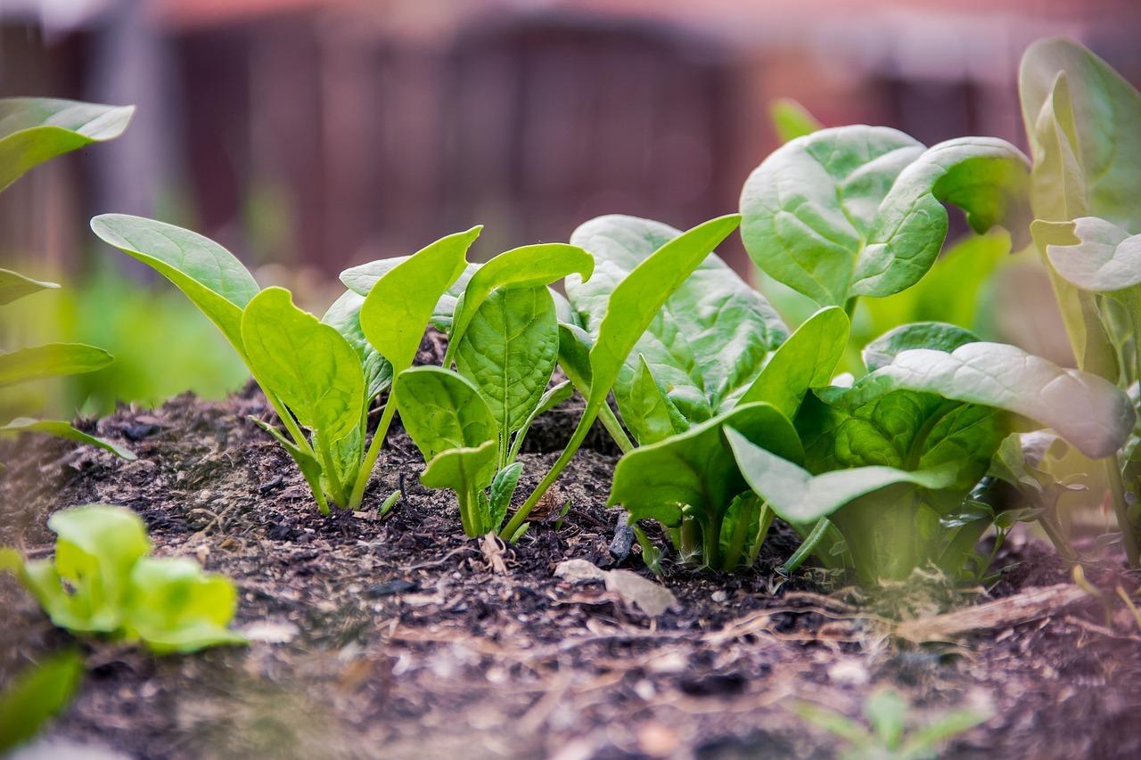 Bio-Spinat ist besser für dich und für die Umwelt.