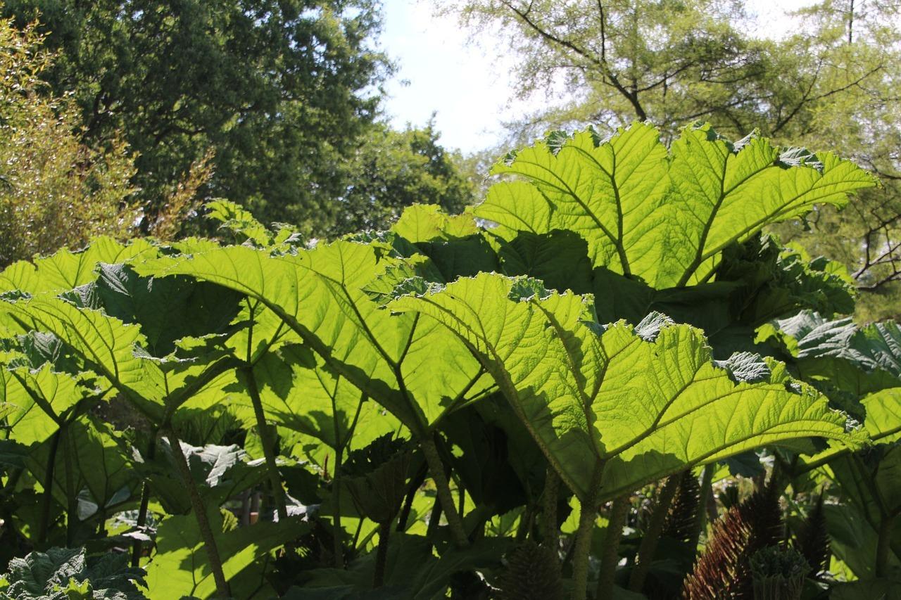 Im Sommer braucht der Rhabarber Zeit für die Regeneration.