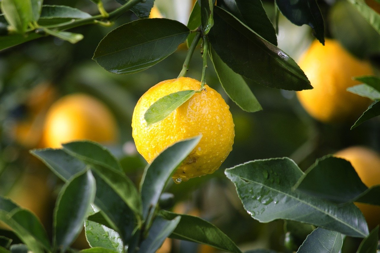 Reife Zitronen.
