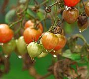 Tomaten-Krankheit