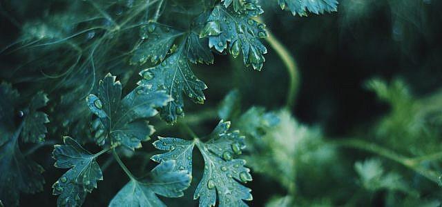 Liebstöckel – oft auch Suppenkraut oder Maggikraut genannt