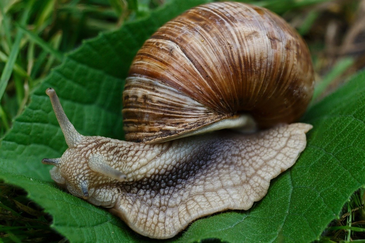 Schneckenkorn macht keinen Unterschied zwischen Nacktschnecken und den für Pflanzen harmlosen Gehäuseschnecken.