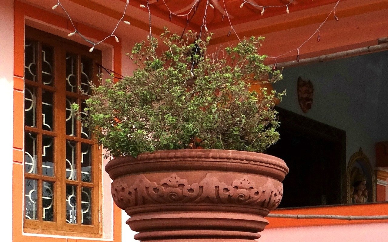 Tulsi hat in Indien eine besondere Bedeutung und gilt sogar als heilige Pflanze.