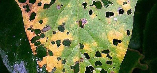 Wollläuse zählen zu den größten Gefahren für Zimmerpflanzen.