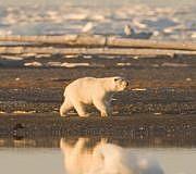Eisbär Klimawandel Tipps